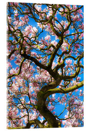 Acrylic print  Magnolia tree in bloom - Billy Stock
