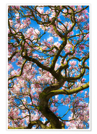 Premium poster  Magnolia tree in bloom - Billy Stock