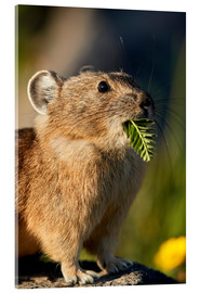Acrylic print  American pika with food in his whiskers - James Hager