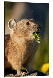 Alu-Dibond  American pika with food in his whiskers - James Hager