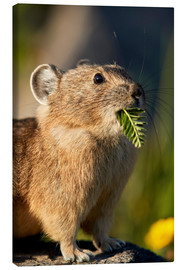 Canvas print  American pika with food in his whiskers - James Hager