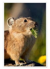Premium poster American pika with food in his whiskers