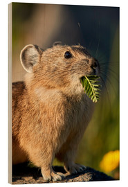 Wood print  American pika with food in his whiskers - James Hager