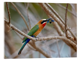 Acrylic print  Bee-eater - James Hager