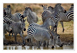 Premium poster  Zebra herd at the waterhole - James Hager