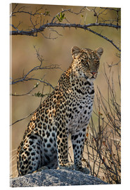 Acrylic print  Leopard perched on its rock - James Hager