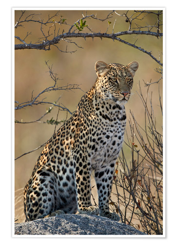 Premium poster Leopard perched on its rock