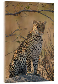 Wood print  Leopard perched on its rock - James Hager