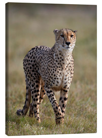 Canvas  Watchful cheetah - James Hager