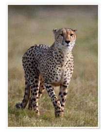 Poster  Watchful cheetah - James Hager