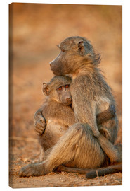 Canvas print  Baboon consoles a baby - James Hager