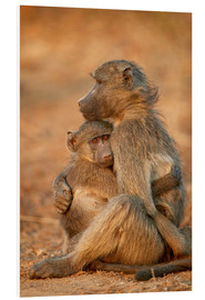 Foam board print  Baboon consoles a baby - James Hager