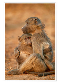 Premium poster Baboon consoles a baby