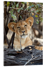Acrylic print  Lion cub chews on twig - James Hager