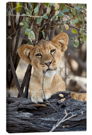 Canvas print  Lion cub chews on twig - James Hager