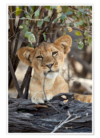 Poster  Lion cub chews with relish - James Hager