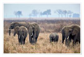 Premium poster Herd of African elephants