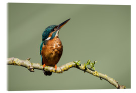 Acrylic print  Male Kingfisher - Matthew Cattell