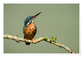 Premium poster Male Kingfisher