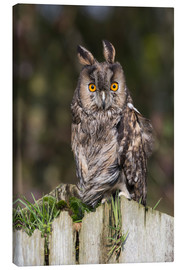 Canvas print  Long-eared owl - Ann & Steve Toon