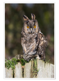 Premium poster Long-eared owl