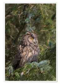 Premium poster Long-eared owl looks towards the sun