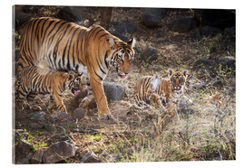 Acrylic print  Tiger family - Janette Hill
