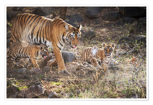 Poster Tiger family