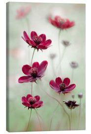 Canvas  Cosmos sway - Mandy Disher