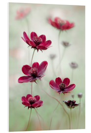 Foam board print  Wine red cosmeen - Mandy Disher