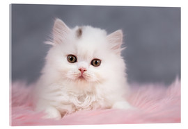 Acrylic print  British longhair cat baby in white - Janina Bürger