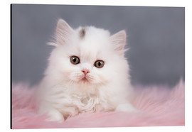 Aluminium print  British longhair cat baby in white - Janina Bürger