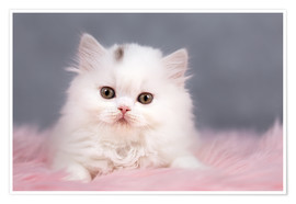 Premium poster British longhair cat baby in white