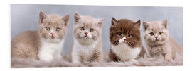 Forex  British Shorthair kitten - Janina Bürger