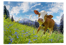 Acrylic print  Young cattle Muhh - Michael Rucker