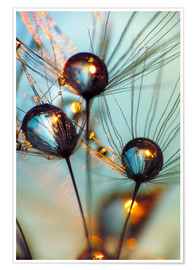 Premium poster Dandelion umbrella with large dew drops