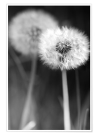 Premium poster Dandelions black and white
