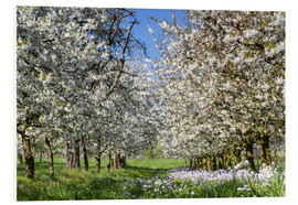 Foam board print  Cherry blossom in the Wetterau - Circumnavigation