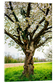 Acrylic print  Blossoming tree on the field - Peter Wey