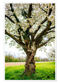 Premium poster Blossoming tree on the field