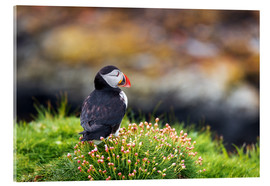 Acrylic print  Puffins on Lunga Island - Reemt Peters-Hein