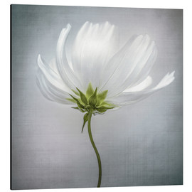 Aluminium print  Cosmos - Mandy Disher